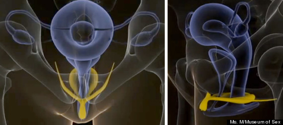 o-internal-clitoris-570
